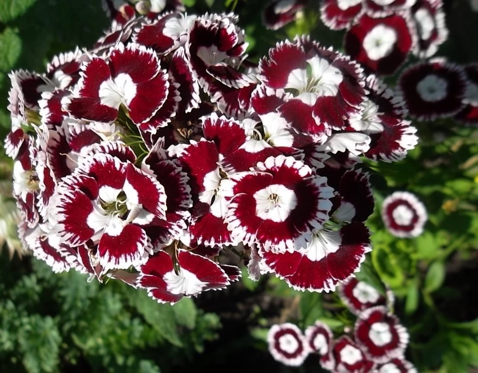 Выращивание гвоздики гвоздика турецкая
