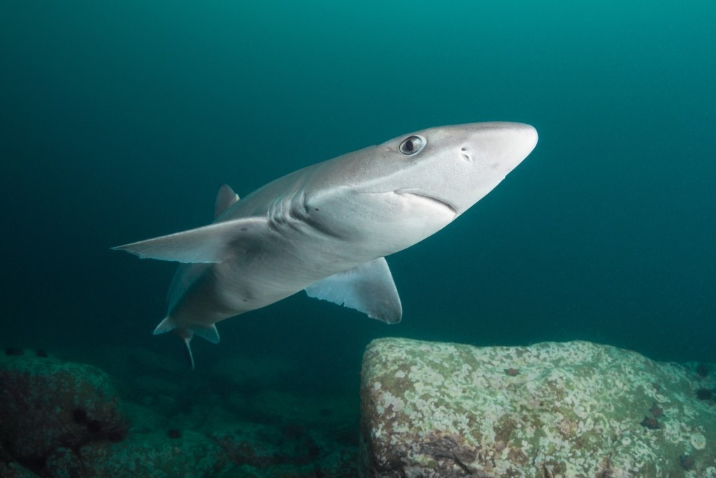 spiny dogfish shark Us wild-caught atlantic spiny dogfish is a smart seafood choice because it is sustainably managed and responsibly like all sharks, dogfish grow.