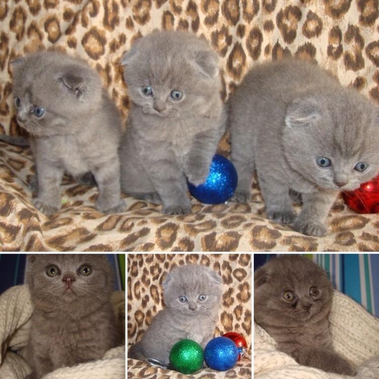Как сделать вислоухих котят