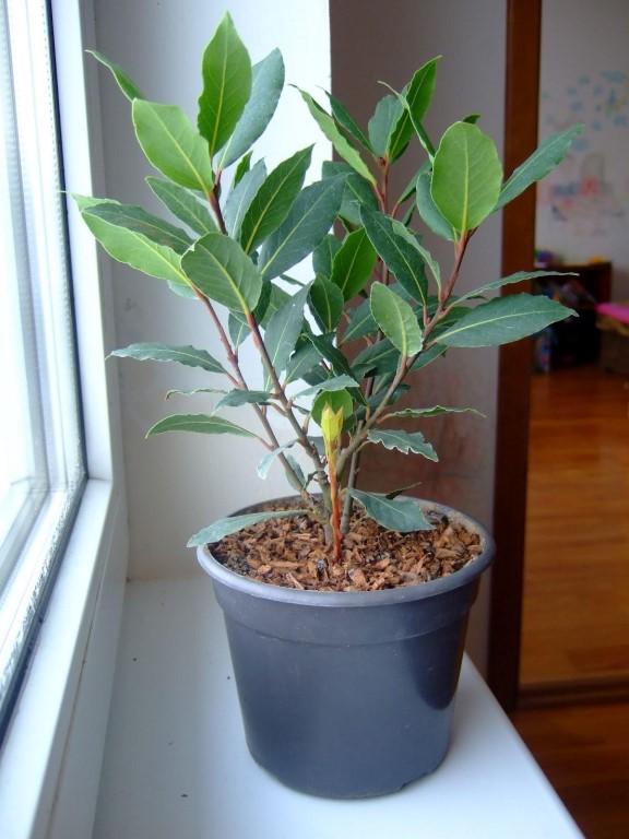 Лавр выращивать в домашних условиях