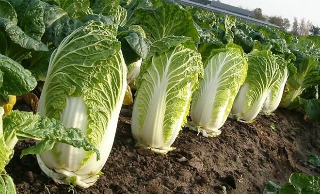 Всё о выращивании пекинской капусты
