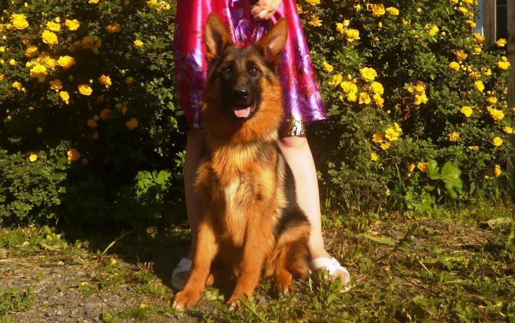 Продам щенков немецкой овчарки, возраст от 3-7 месяцев, суки и кобели.