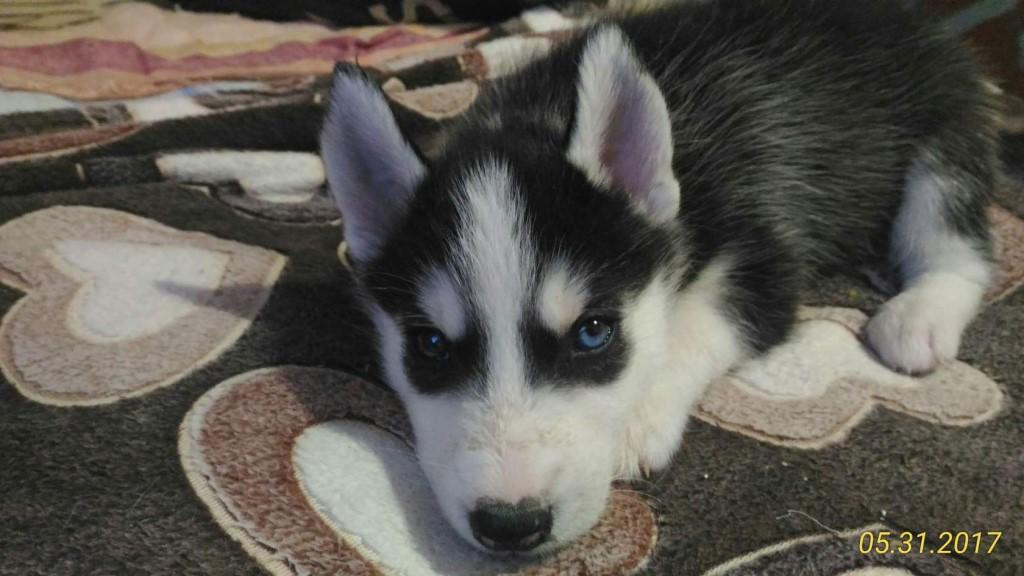 продам  щенков сибирской хаски  подробности по тел 89609212921 или  в лс