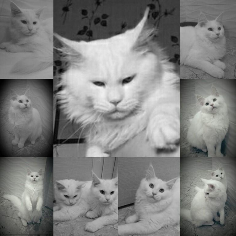 Мейн-куны - самые большие,добрые,ласковые кошки.