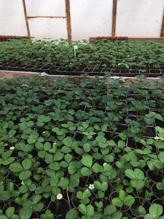 Земляника садовая от 50 рублей за шт, закрытая корневая система.