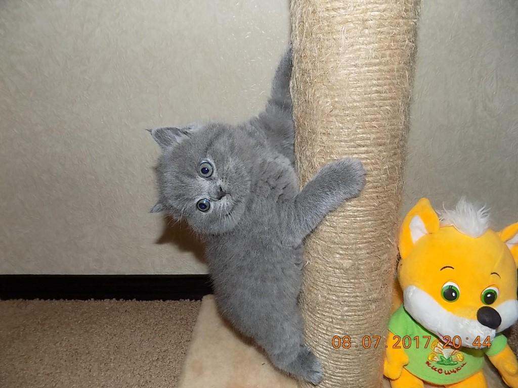 Чистокровные ,британские ,плюшевые котята .
