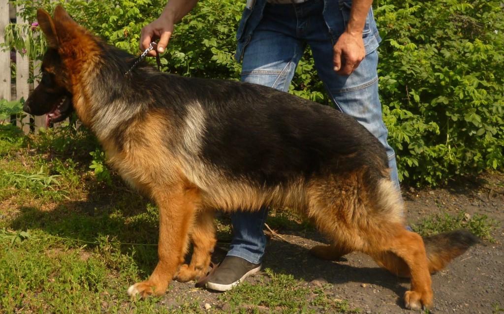 Продам щенков немецкой овчарки, документы РКФ, вакцинированы.