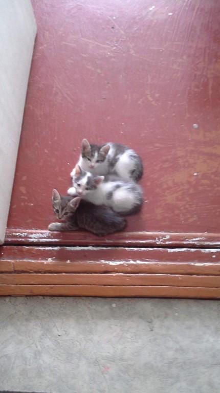 Отдам котят в хорошие руки и кошку мать к лотку приучена 89539298536