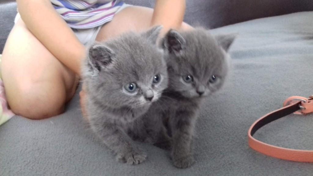 Продам британских  котят все вопросы по телефону 89521804443 600р