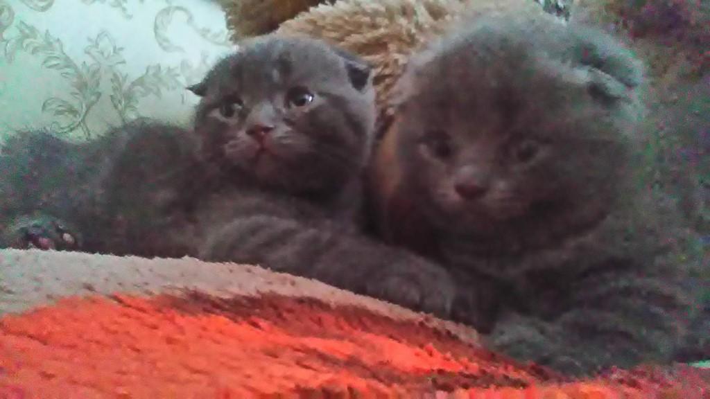 Готовы к продаже,осталось два плюшевых вислоухих мальчугана и одна красавица вислоушка .Котятки очень ласковые и любят руки.