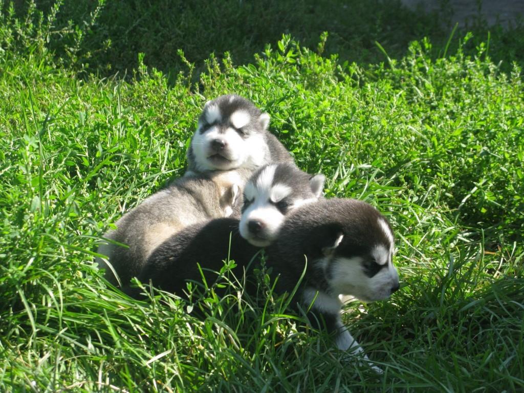 Продаются щенки Сибирской хаски.