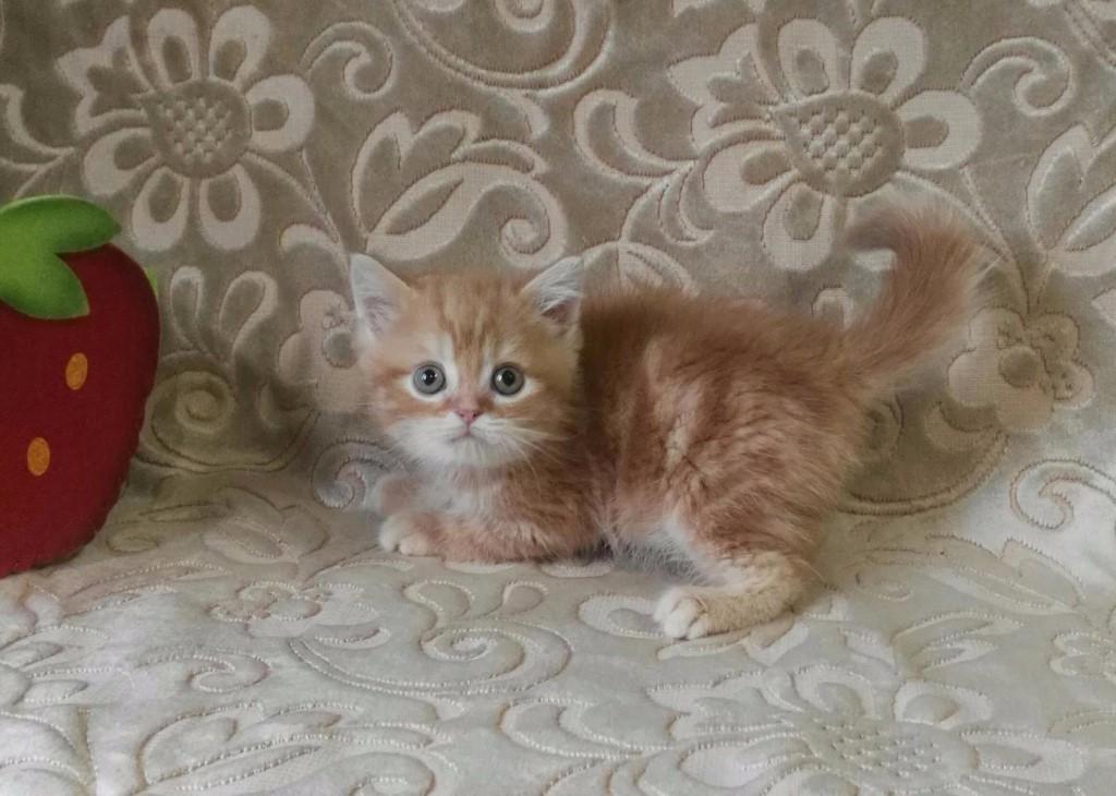 Породные котята с плюшевой шубкой из лицензированного