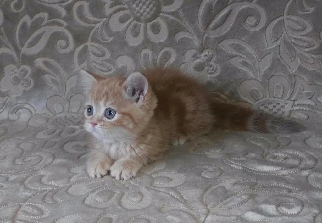 Породные котята с плюшевой шубкой, от титулованных родителей.