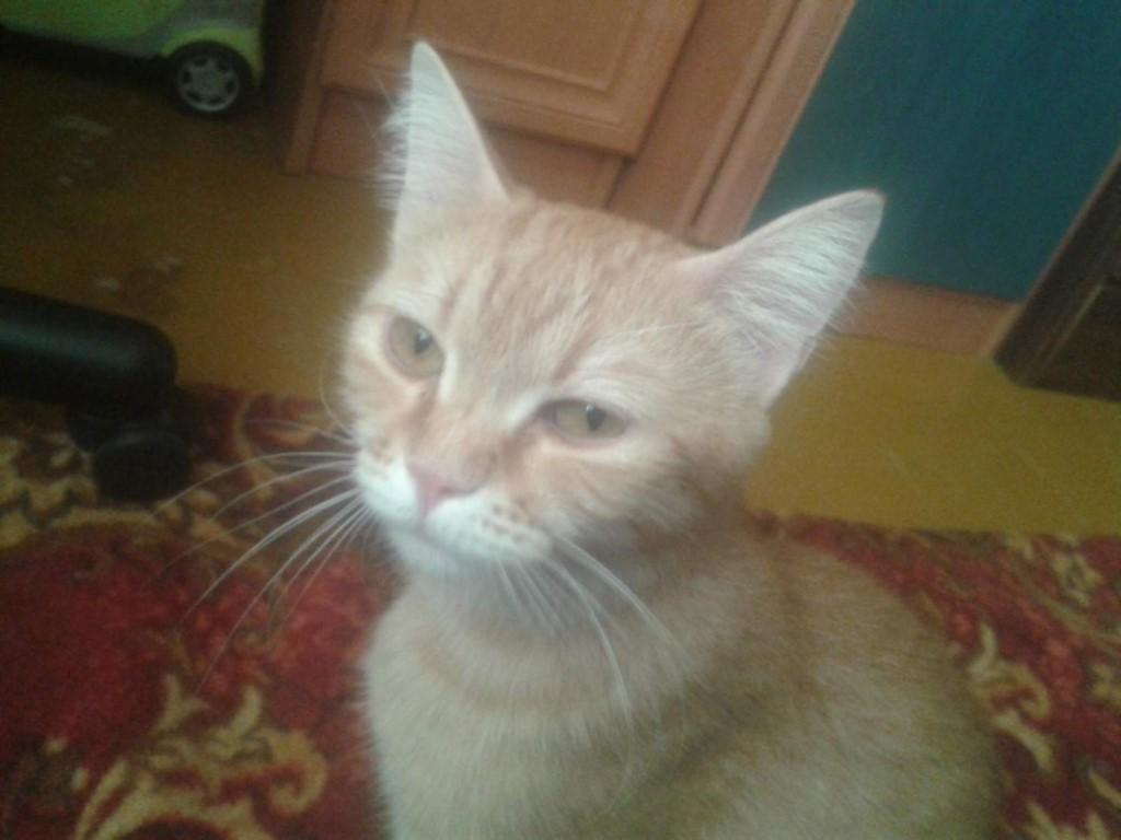 Отдам милую кошечку в добрые руки  кошке 1год к лотку приучина .