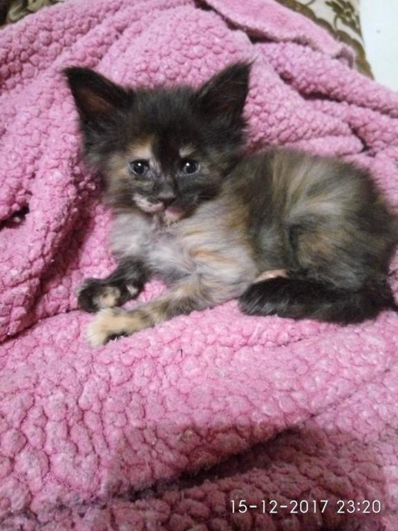 Отличный подарок на приближающие праздники,котята породы Мейн Кун.Не дорого!!!