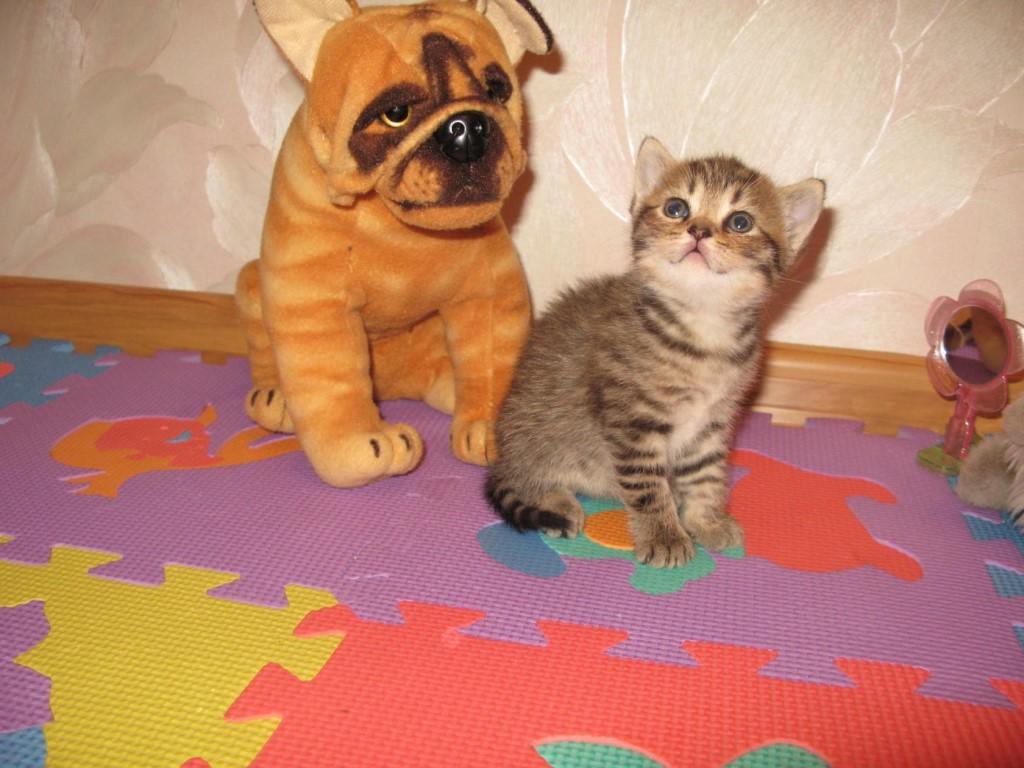 Продам СРОЧНО котят шотландской породы.