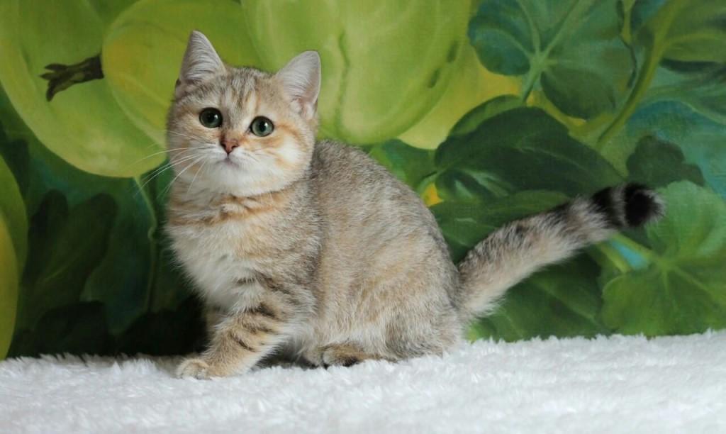Питомник предлагает к продаже британских котят в драгоценном золотом окрасе.