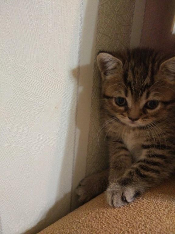 Продам чистокровных шотландских котят!